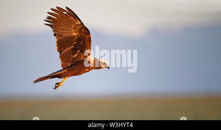 Western marsh-harrier (Circus aeruginosus), femmina in volo, Castilla-La Mancha, in Spagna Immagini Stock