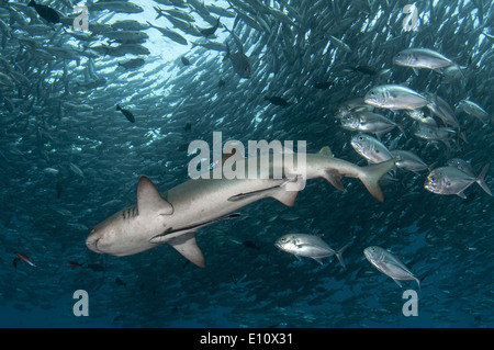 Whitetip reef shark circondato da Big-eye carangidi (Triaenodon obesus), (Caranx sexfasciatus) Immagini Stock