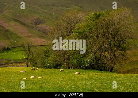 Regno Unito, Cumbria, York, Caultey, pecore al pascolo in fiore selvatico-riempito prato sotto Howgill cadde Immagini Stock