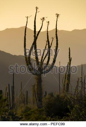 Boojum alberi all'estremità settentrionale del Mare di Cortez, vicino a Bahia de Los Angeles. Immagini Stock