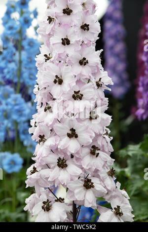 """Delphinium elatum 'cara Luisa Rossi"""". Larkspur fiori su un display a una mostra del fiore. Regno Unito Immagini Stock"""