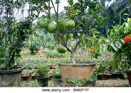 Grande verde limoni crescono in una pianta in vaso Immagini Stock