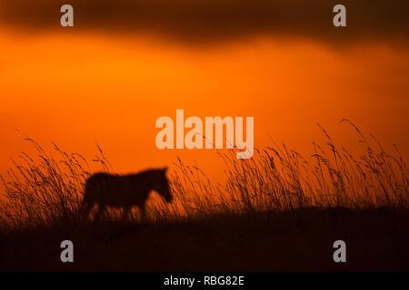 Un singolo Zebra. / Tramonto ALLALBA immagini mostrano in Africa la ricca fauna stagliano durante l inizio e la fine della giornata quando la luce raggiunge il suo perfetto stato di illuminazione. Un ippopotamo è mostrato in agguato in acqua, mentre altre fotografie mozzafiato dare un intimo scorcio di leoni, giraffe, Kudu, flamingo, elefanti, leopardi, Rhino's e zebre in questa bella stagliano tecnica. Evan di un nugolo di pipistrelli può essere visto volare attraverso il tramonto Africano. Altre foto di drammatico di tutta l'Africa australe e orientale mostrano un ferito gnu eludere un fuoco che ha spazzato attraverso Immagini Stock