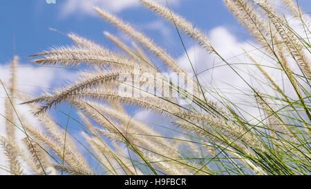 Fioritura erba durante la mattina. Immagini Stock