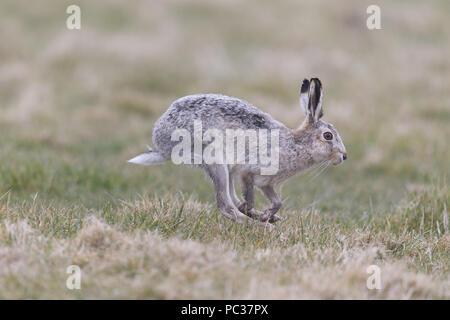 Unione lepre (Lepus europeaus) maschio adulto, leucistic forma, in esecuzione nel campo di erba, Suffolk, Inghilterra, Marzo Immagini Stock