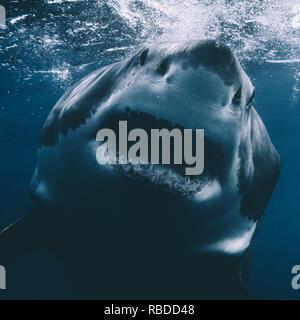 Isola di Guadalupe, in Messico: una chiusura di un grande squalo bianco in Guadalupe isola al largo delle coste del Messico. Un grande squalo bianco è stato catturato guardando verso la lente di un fotografo inglese la telecamera subacquea e per mostrare il suo enorme di una tonnellata di costruire e 300 affilati denti. Un'altra immagine mostra la grande bianco violare come morde un pezzo di esche, evidenziando la potenza di questi incredibili predatori del mare. Il predatore può anche essere visibile appena sotto la superficie dell'acqua increspata, fin immerso nel classico ganasce pongono. Euan Rannachan / www.mediadrumworld.com Immagini Stock