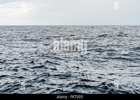 I capodogli può essere individuato su una balena safari. Uno dei luoghi più famosi per safari balene è Immagini Stock