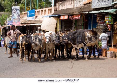 Gli agricoltori tenendo CATTLES PER VENDERE AL MERCATO IN KERALA Immagini Stock