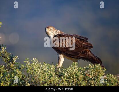L'aquila del Bonelli (Aquila fasciata) si siede con attenzione su un albero, Estremadura, Spagna Immagini Stock
