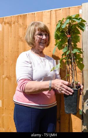 Signora anziana giardinaggio in primavera impianto di contenimento. Immagini Stock
