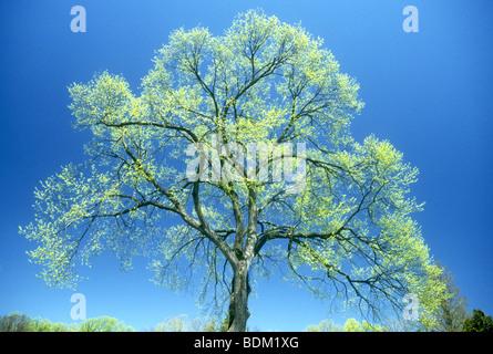 Tracery delicato di un fresco verde albero in primavera in Longwood Gardens ,Philadelphia,USA Immagini Stock