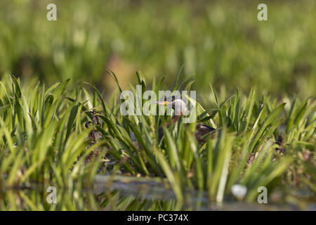 Red-Necked svasso (Podiceps grisegena) adulto, allevamento del piumaggio, seduta sul nido tra la vegetazione, il Delta del Danubio, Romania, Giugno Immagini Stock