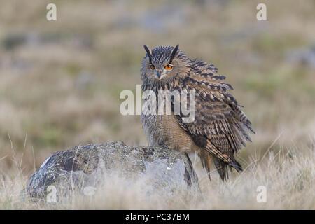 Gufo reale (Bubo bubo) adulto, appollaiato sulla roccia nella brughiera, Peak District, Cumbria, Novembre, oggetto controllato Immagini Stock
