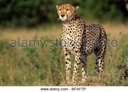 Ghepardo caccia, Acinonyx jubatus, riserva Masai Mara, Kenya Immagini Stock