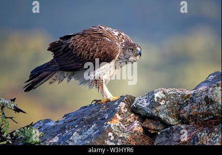 L'aquila del Bonelli (Aquila fasciata), in piedi gonfi sulle rocce, Estremadura, Spagna Immagini Stock