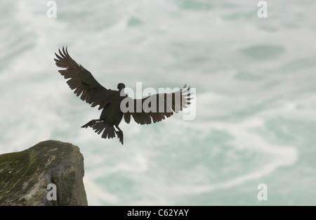 Il marangone dal ciuffo Phalacrocorax aristotelis un adulto arriva a terra su un giorno di tempesta le isole Shetland, Immagini Stock