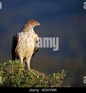 L'aquila del Bonelli (Aquila fasciata) seduto su albero e guardando fuori, Estremadura, Spagna Immagini Stock