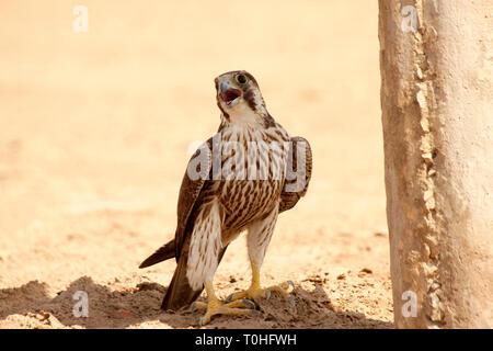 Falco pellegrino bird, Little Rann di Kutch, Gujarat, India Immagini Stock