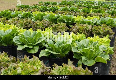 Central Florida home organico giardino con piante di lattuga e verdure in cortile per una sana dieta e mangiare Immagini Stock