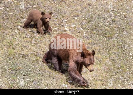 Orso e cub camminare sull'erba Immagini Stock