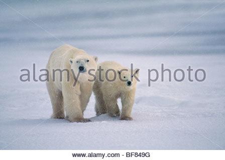 Orso polare la madre e il giovane, Ursus maritimus, Baia di Hudson, Canada Immagini Stock