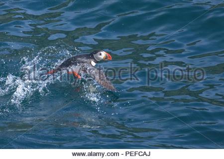 Un Atlantic puffini, decolla. Immagini Stock