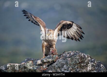 L'aquila del Bonelli (Aquila fasciata), femmina con la preda, Estremadura, Spagna Immagini Stock