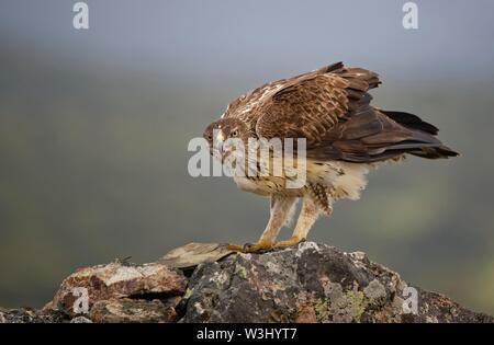 L'aquila del Bonelli (Aquila fasciata), chiamando su roccia, Estremadura, Spagna Immagini Stock