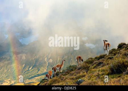 Piccolo gruppo di guanaco(Lama guanicoe) in piedi nella nebbia sulla collina con Torres del Paine montagne e un arcobaleno nel Immagini Stock