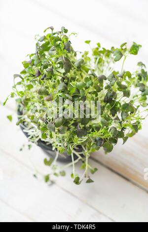 Pak choi microgreens in una pentola su bianco sullo sfondo di legno Immagini Stock