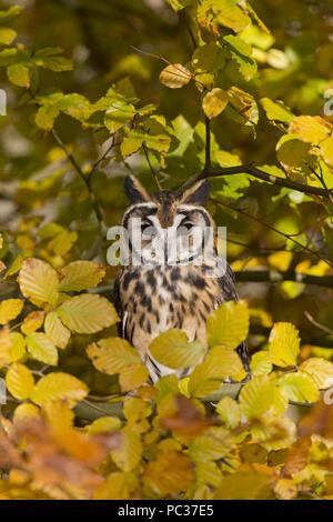 Striped gufo comune (Asio clamator) adulto, appollaiato tra foglie di autunno, Novembre, oggetto controllato Immagini Stock