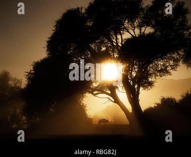 Oryx nel sunrise. / Tramonto ALLALBA immagini mostrano in Africa la ricca fauna stagliano durante l inizio e la fine della giornata quando la luce raggiunge il suo perfetto stato di illuminazione. Un ippopotamo è mostrato in agguato in acqua, mentre altre fotografie mozzafiato dare un intimo scorcio di leoni, giraffe, Kudu, flamingo, elefanti, leopardi, Rhino's e zebre in questa bella stagliano tecnica. Evan di un nugolo di pipistrelli può essere visto volare attraverso il tramonto Africano. Altre foto di drammatico di tutta l'Africa australe e orientale mostrano un ferito gnu eludere un fuoco che ha spazzato una Immagini Stock