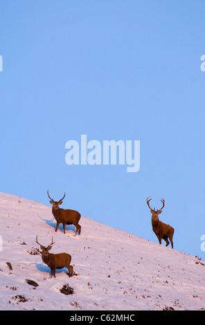 RED DEER Cervus elaphus un gruppo di cervi a tarda sera la luce nella Scottish Monti Monadhliath montagne, Scotland, Immagini Stock