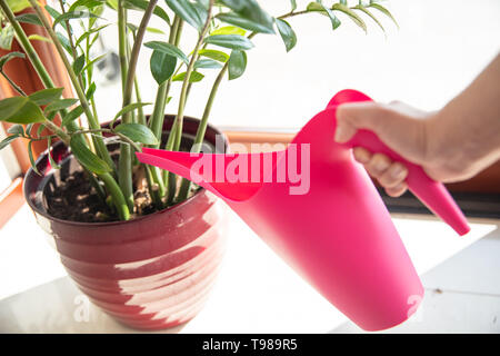 Acque donna pianta in vaso rosso con il rosa annaffiatoio. Immagini Stock