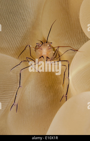Una bolla di gamberi di corallo a bolla corallo, Malaysia (vir philippinensis) Immagini Stock