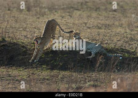 Ghepardi rilassante, Serengeti, Tanzania (Acinonyx jubatus) Immagini Stock