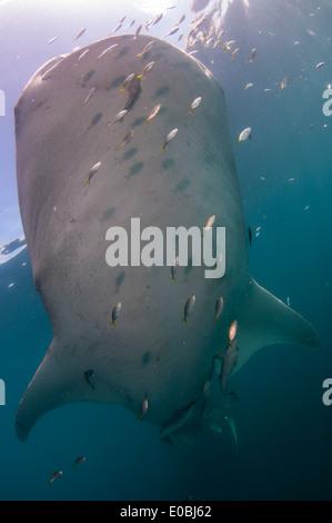 La parte inferiore di squalo balena, Cenderawasih Bay, Nuova Guinea, Indonesia (Rhincodon typus) Immagini Stock