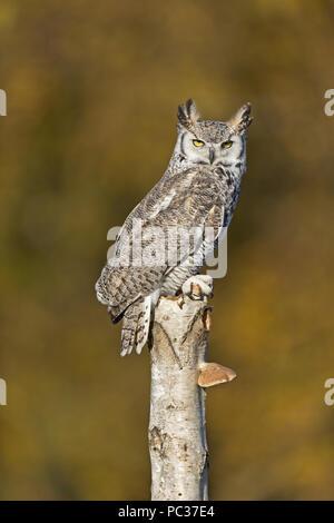 Il Gufo Great-Horned (Bubo virginianus) adulto, appollaiato su argento betulla (Betula pendula) tronco con fungo, con sfondo di colore di autunno, novembre, con Immagini Stock