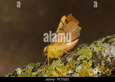 Canarie-spallamento Thorn Tarma (Ennomos alniaria) adulto a riposo sul lichen coperto ramoscello, Monmouth, Galles, Agosto Immagini Stock
