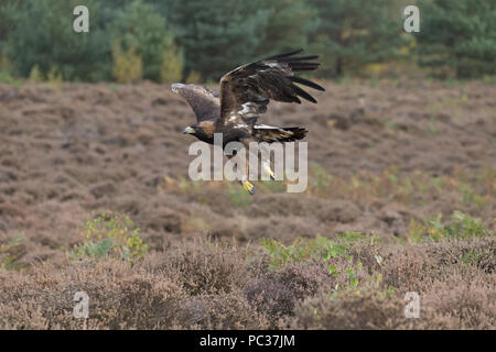 Aquila reale (Aquila chrysaetos) adulto, volando sopra la brughiera, Ottobre, oggetto controllato Immagini Stock