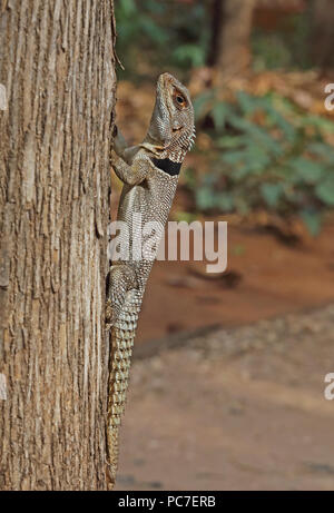 Madagascan acciuffato Iguana (Oplurus cuvieri) adulto aggrappandosi al tronco di albero, endemica malgascia Ampijoroa stazione forestale, Ankarafantsika Riserva, Madag Immagini Stock