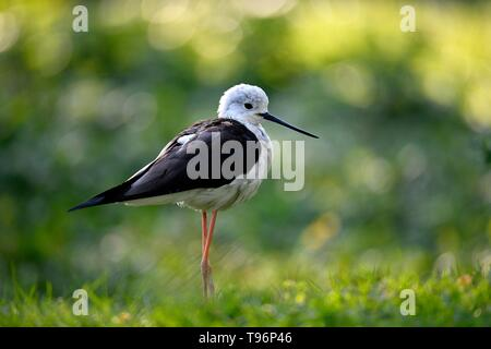 Black-winged Black-winged Stilt (Himantopus himantopus) si erge nel prato, captive, Germania Immagini Stock