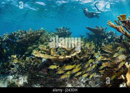 Snorkeler galleggia sul campo di coralli duri. Immagini Stock