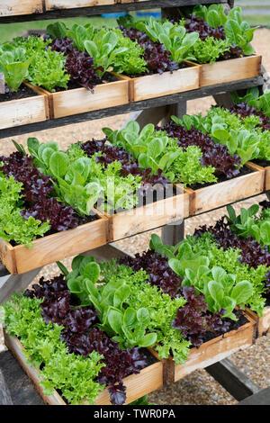 Insalata di organico di piante in scatole di legno per vendita a Daylesford Organic farm shop festival estivi. Daylesford, Cotswolds, Gloucestershire, Inghilterra Immagini Stock