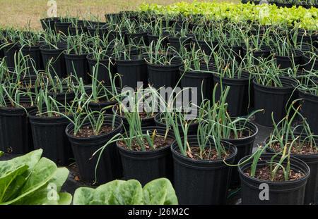 Central Florida home organico giardino con cipolla verde piante e verdure in cortile per una sana dieta e mangiare Immagini Stock