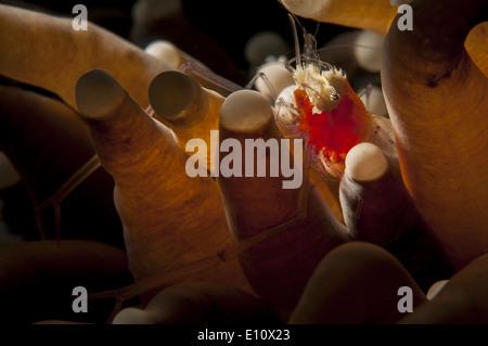Un Popcorn Shrimp in mare Anemone, Malaysia (Periclomenes kororensis) Immagini Stock