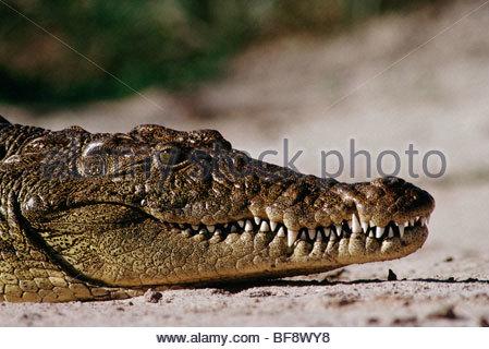 Coccodrillo del Nilo, Crocodylus niloticus, Okavango Delta, Botswana Immagini Stock