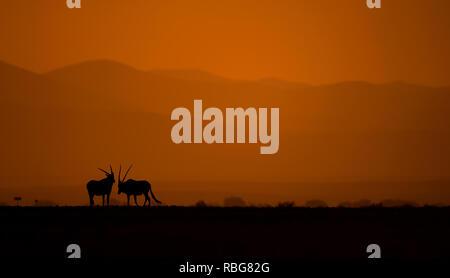 Una coppia di Oryx. / Tramonto ALLALBA immagini mostrano in Africa la ricca fauna stagliano durante l inizio e la fine della giornata quando la luce raggiunge il suo perfetto stato di illuminazione. Un ippopotamo è mostrato in agguato in acqua, mentre altre fotografie mozzafiato dare un intimo scorcio di leoni, giraffe, Kudu, flamingo, elefanti, leopardi, Rhino's e zebre in questa bella stagliano tecnica. Evan di un nugolo di pipistrelli può essere visto volare attraverso il tramonto Africano. Altre foto di drammatico di tutta l'Africa australe e orientale mostrano un ferito gnu eludere un fuoco che ha spazzato attraverso Immagini Stock