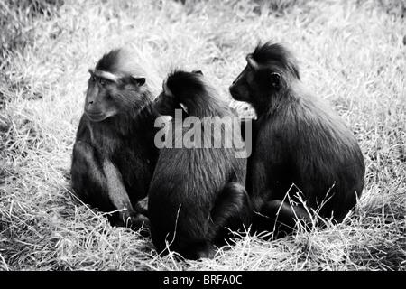 Tre scimmie in un gruppo Immagini Stock