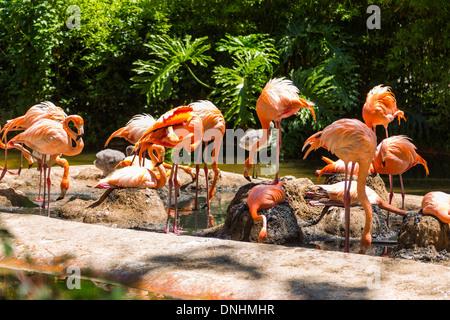 Stormo di fenicotteri rosa in un giardino zoologico, allo Zoo di Barcellona, Barcellona, in Catalogna, Spagna Immagini Stock